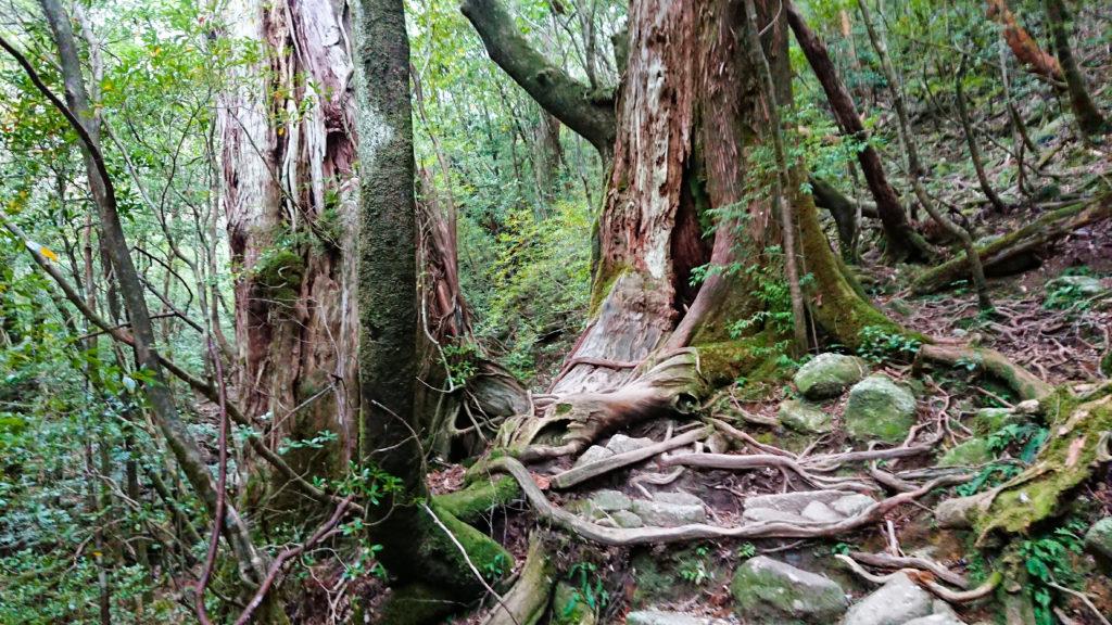 木の根の階段