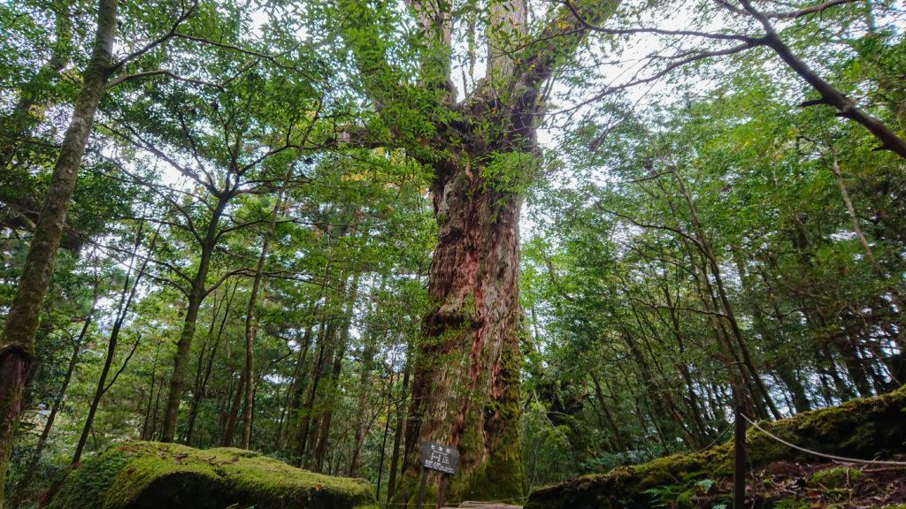 神秘的な巨木