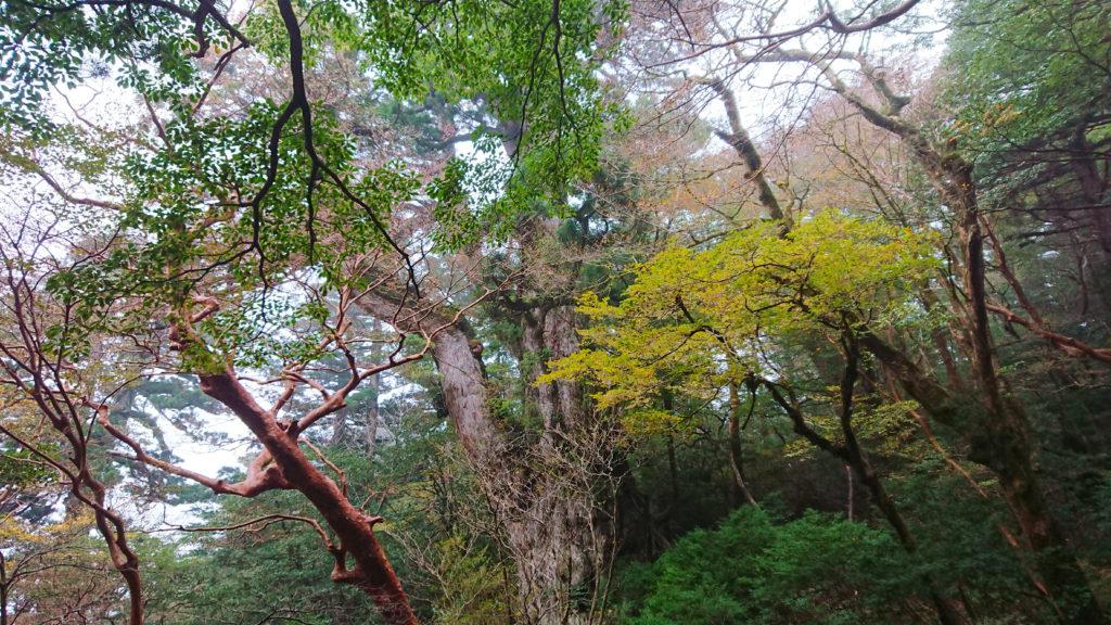 角度を変えて見る縄文杉