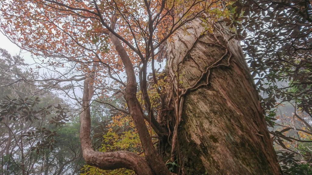 巨木に絡む複数の木