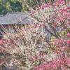 鹿児島市仙厳園の2月に見頃を迎える梅