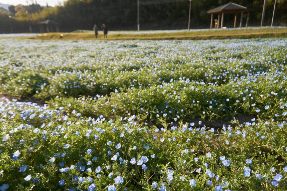 慈眼寺公園で3月でも開花しているネモフィラ