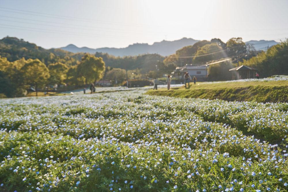 鹿児島県にある慈眼寺公園のネモフィラ畑全景