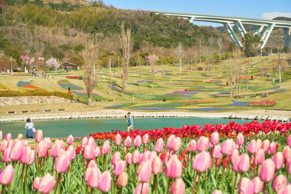 兵庫県にある国営明石海峡公園の花の中海周辺に咲くチューリップ