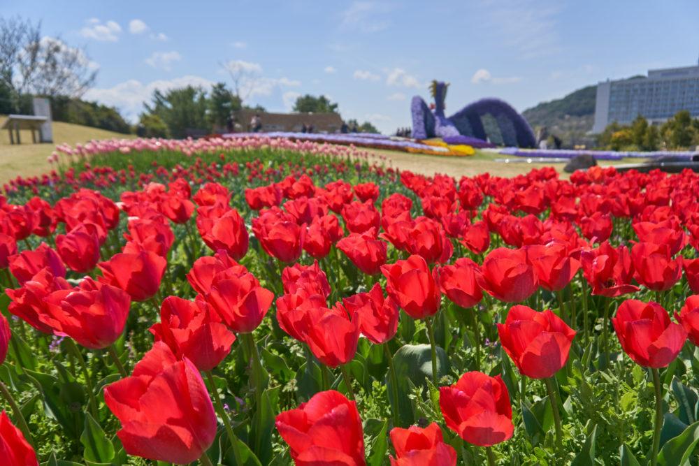 兵庫県にある国営明石海峡公園に咲く赤いチューリップ