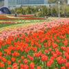 兵庫県にある国営明石海峡公園に一面に咲くチューリップ