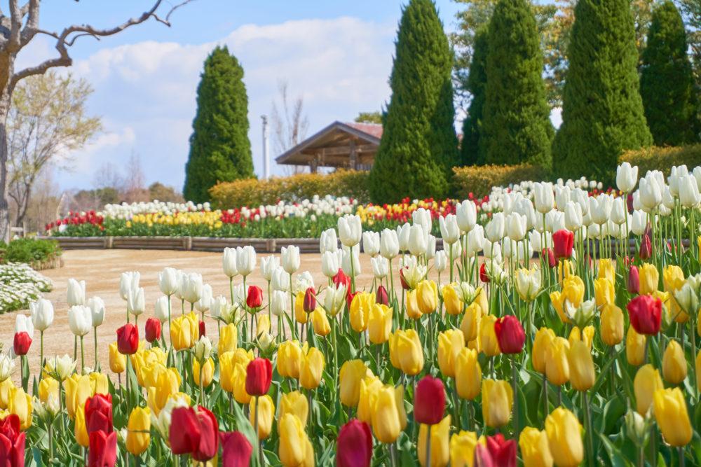 兵庫県にある国営明石海峡公園に咲く赤白黄色のチューリップ