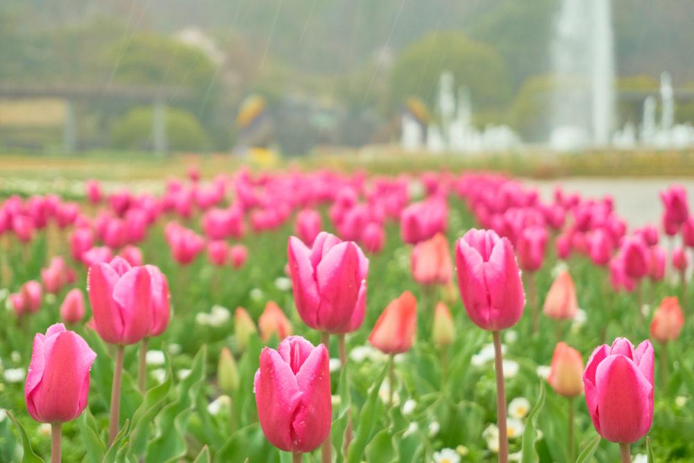 兵庫県立フラワーセンターで一面に咲くチューリップ