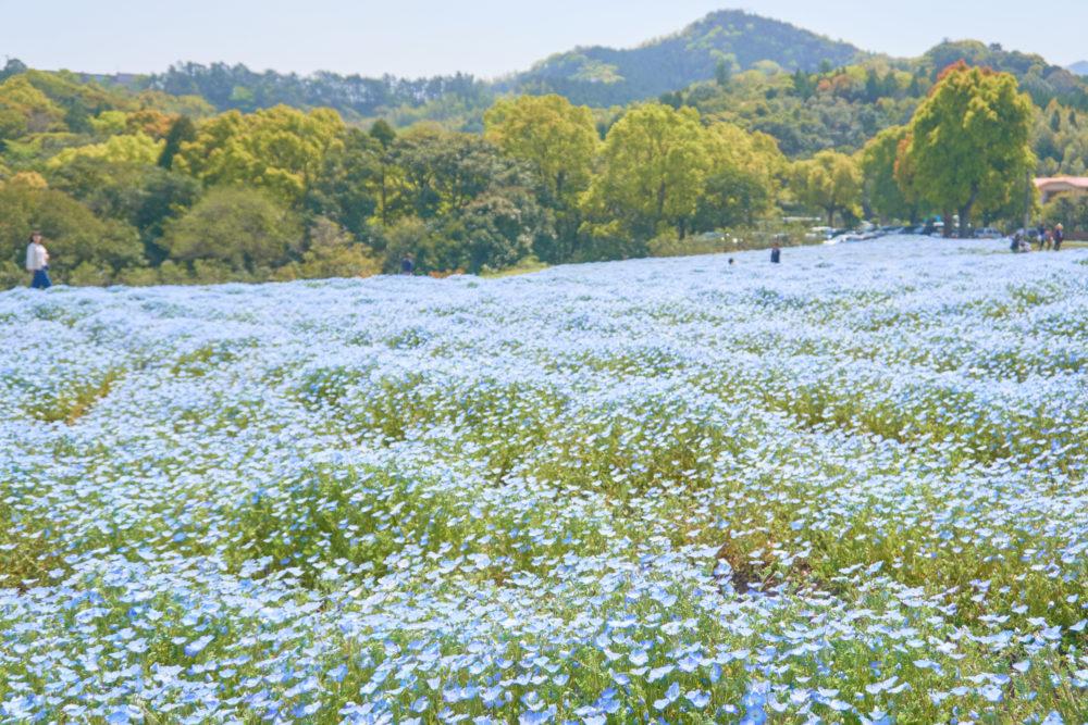 慈眼寺公園で春に咲くネモフィラ