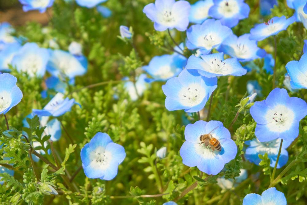 慈眼寺公園でネモフィラの蜜を集める蜂