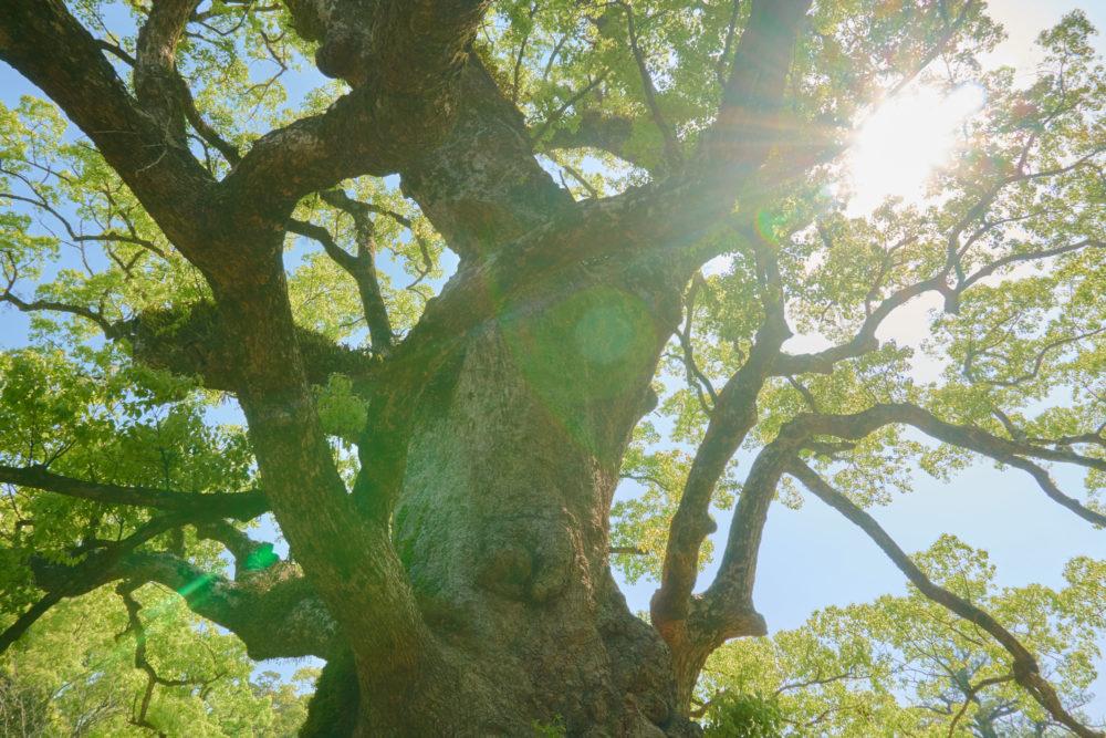 鹿児島県の姶良市にある大楠の近景