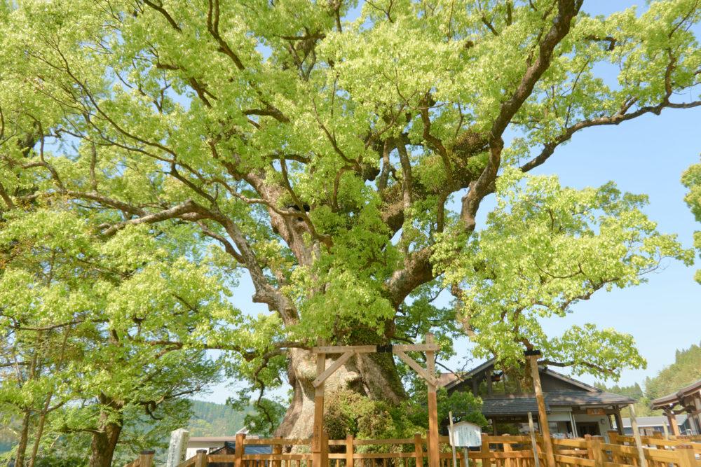 鹿児島県の姶良市にある大楠の正面