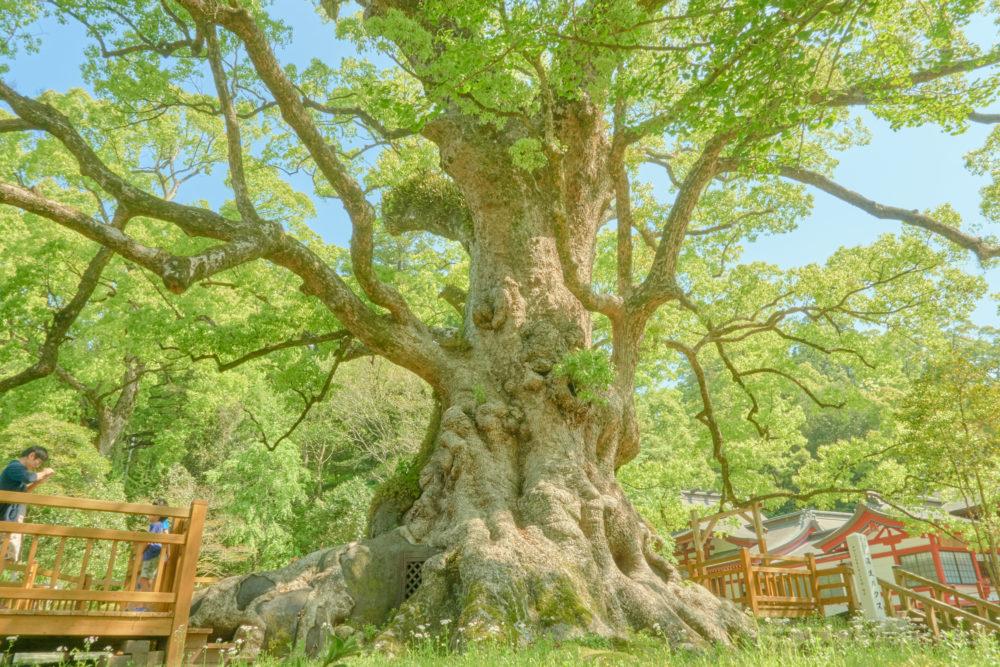 鹿児島県の姶良市にある大楠と写真を撮る親子