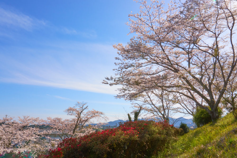 鹿児島県にある丸岡公園に咲く桜とつつじ