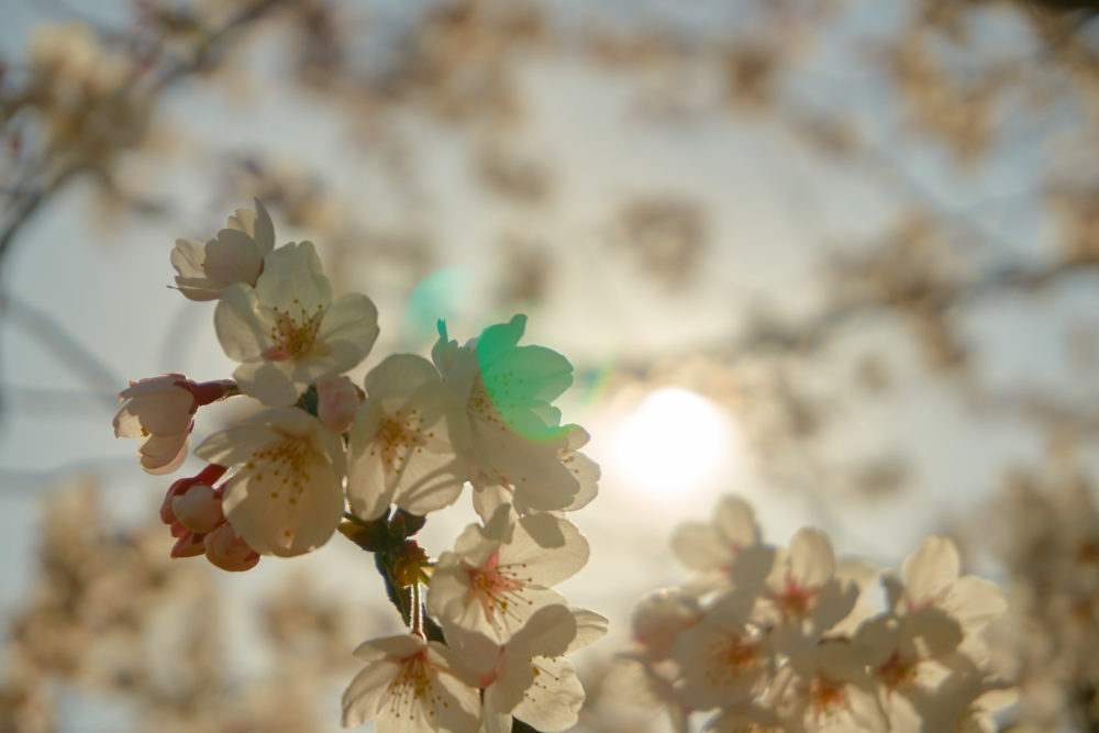 鹿児島県にある丸岡公園に咲く桜の接写
