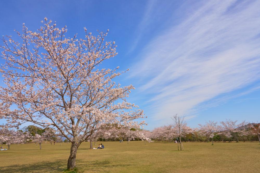 鹿児島県にある丸岡公園の広場に咲く桜