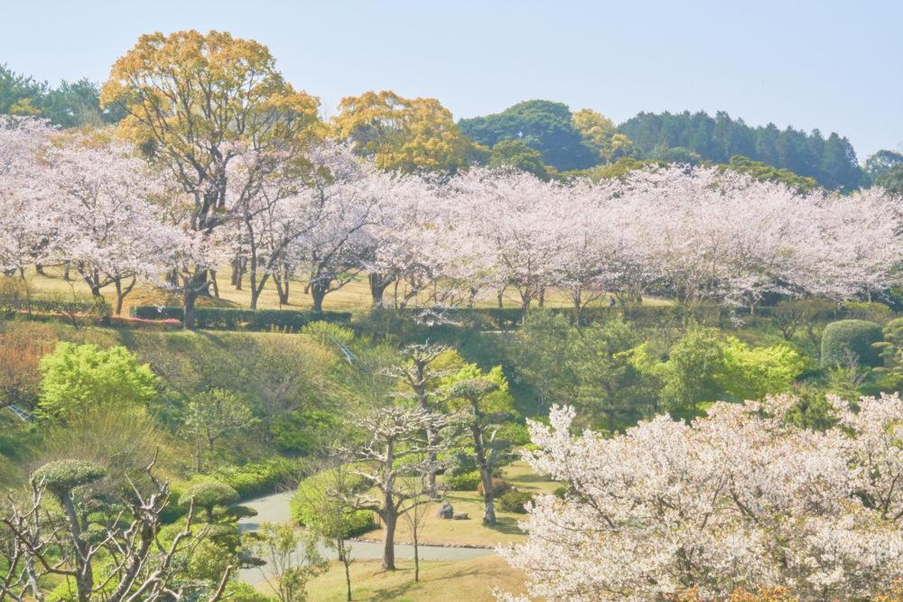 鹿児島県の吉野公園で庭園付近でも桜が満開