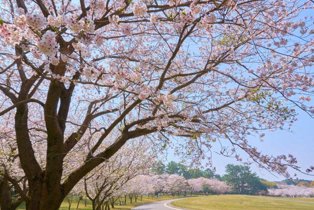 鹿児島県の吉野公園で満開の桜群植園