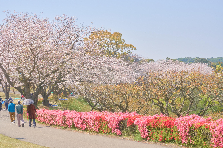 鹿児島県の吉野公園に咲く淡いピンクの桜と濃いピンクのつつじ