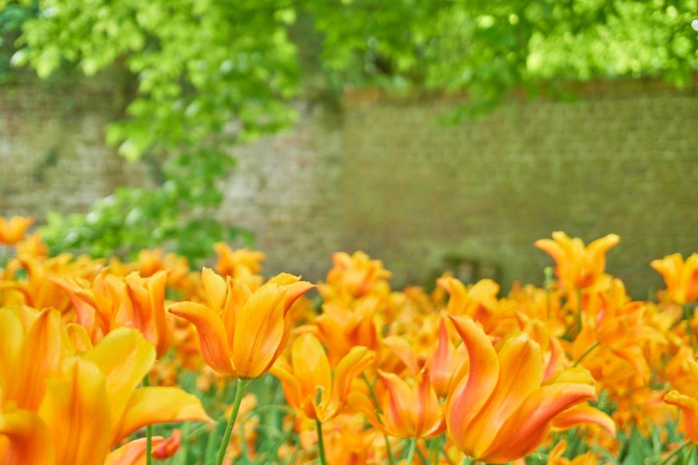 ベルギーのグロート・ベイハールデン城に咲くチューリップ