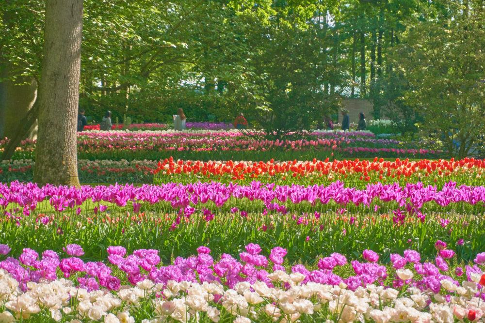 キューケンホフ公園で一面に広がる花々