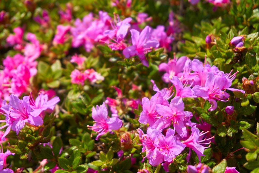鹿児島県の高千穂峰に咲くミヤマキリシマ