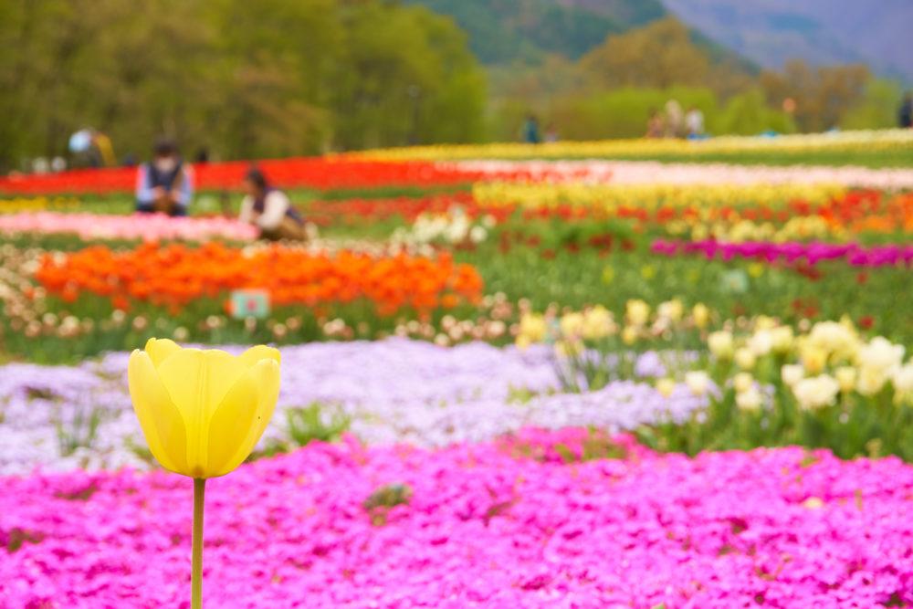 国営アルプスあずみの公園のチューリップと芝桜