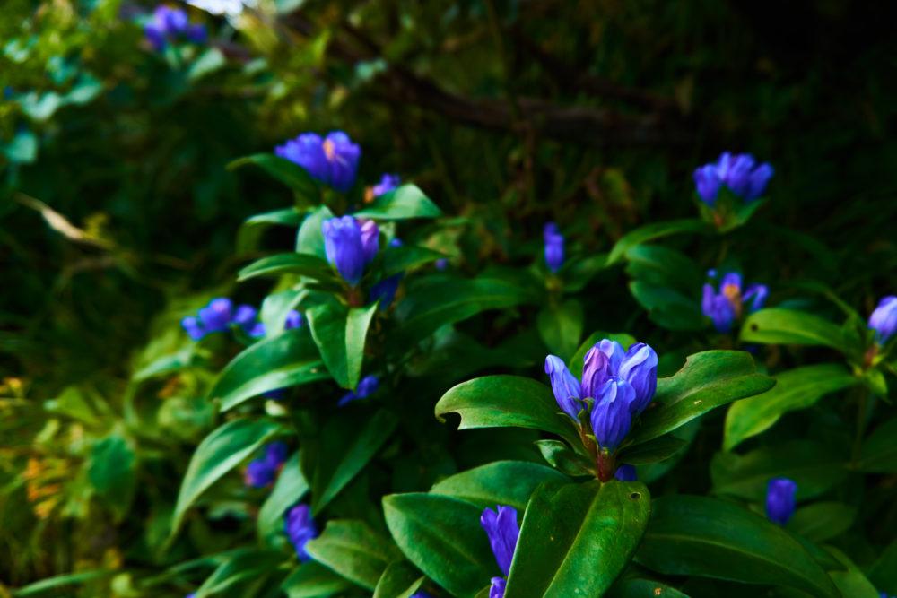 鳥海山に咲くリンドウの花