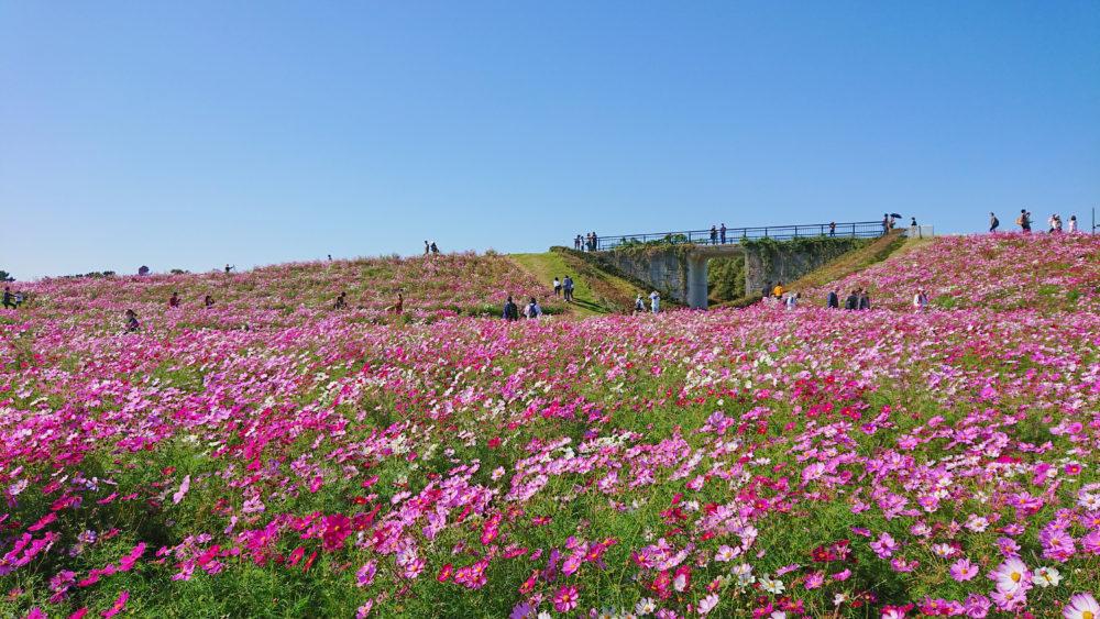 海の中道海浜公園 花の丘のコスモス