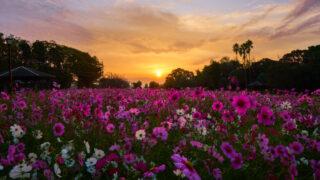 慈眼寺公園のコスモス2019