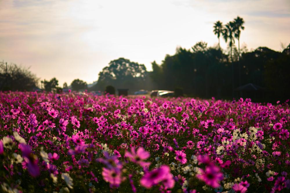 慈眼寺公園のコスモスに光が注ぐ