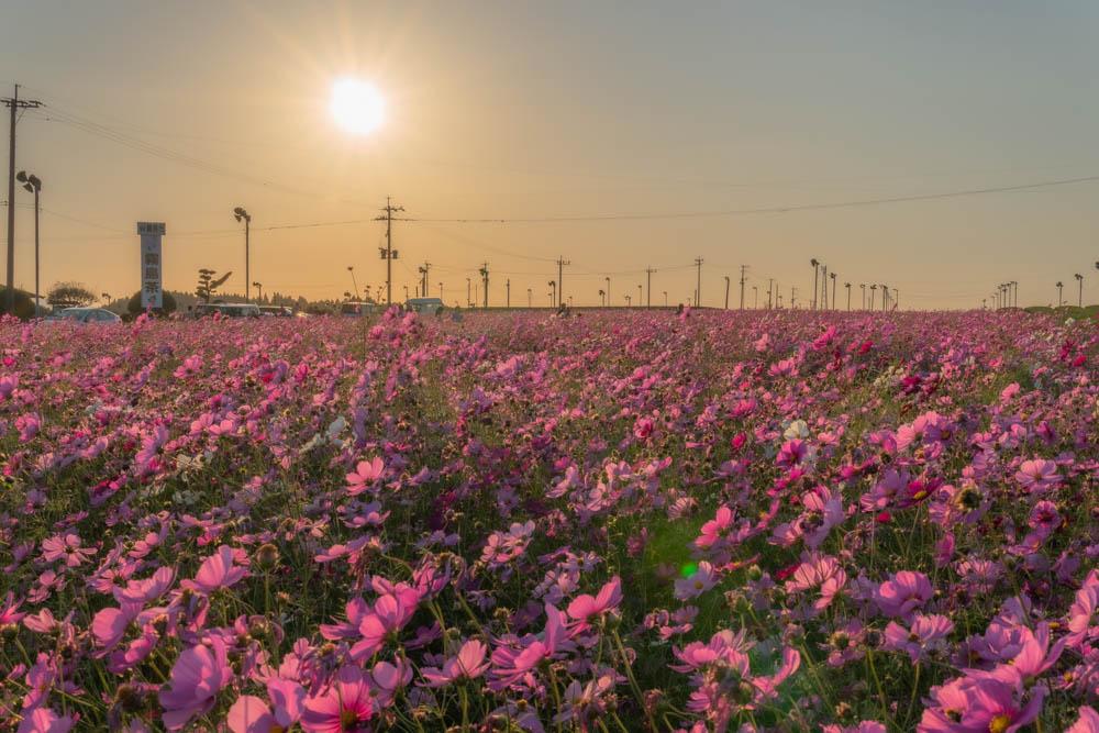 十三塚原公園前のコスモス畑
