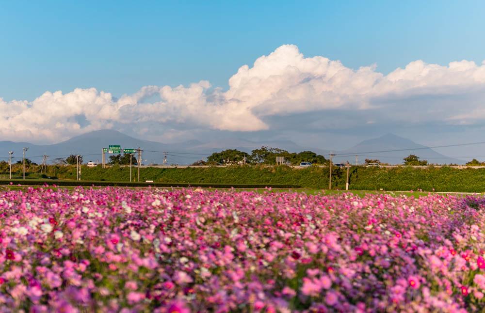 十三塚原公園前のコスモス畑と霧島連山