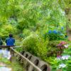 東雲の里のあじさい園
