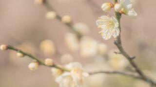 plum blossom photograph