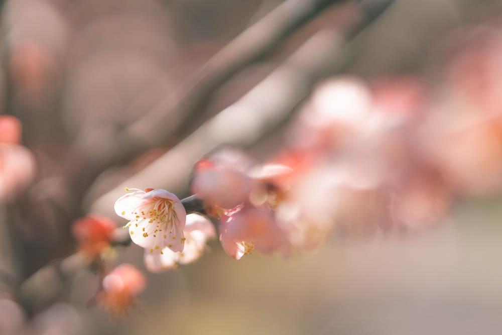 SIGMA 56mmで撮影した梅