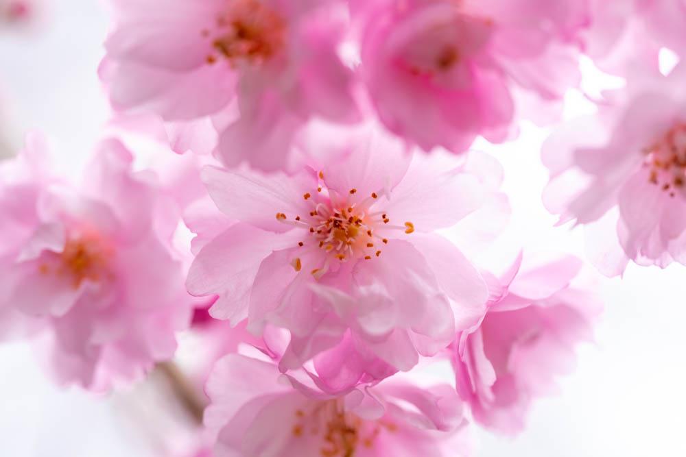 SIGMA 70mm F2.8で撮影した桜