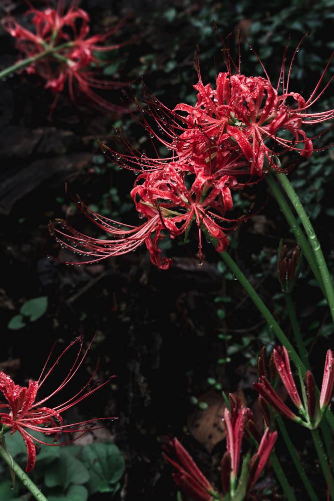 SIGMA 100-400mmで撮影した彼岸花