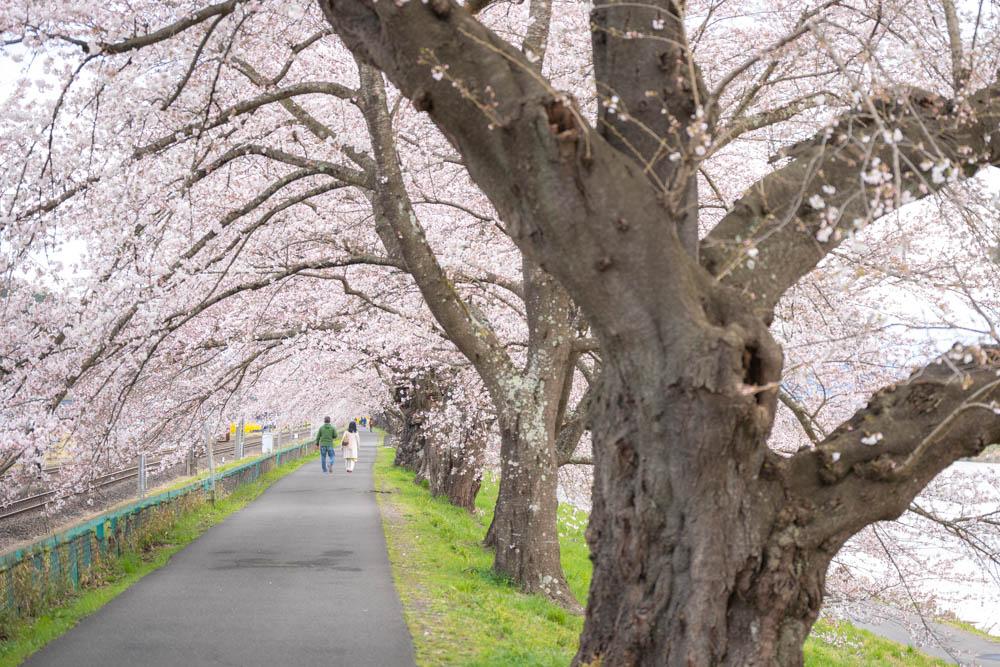 船岡城址公園の桜 評価