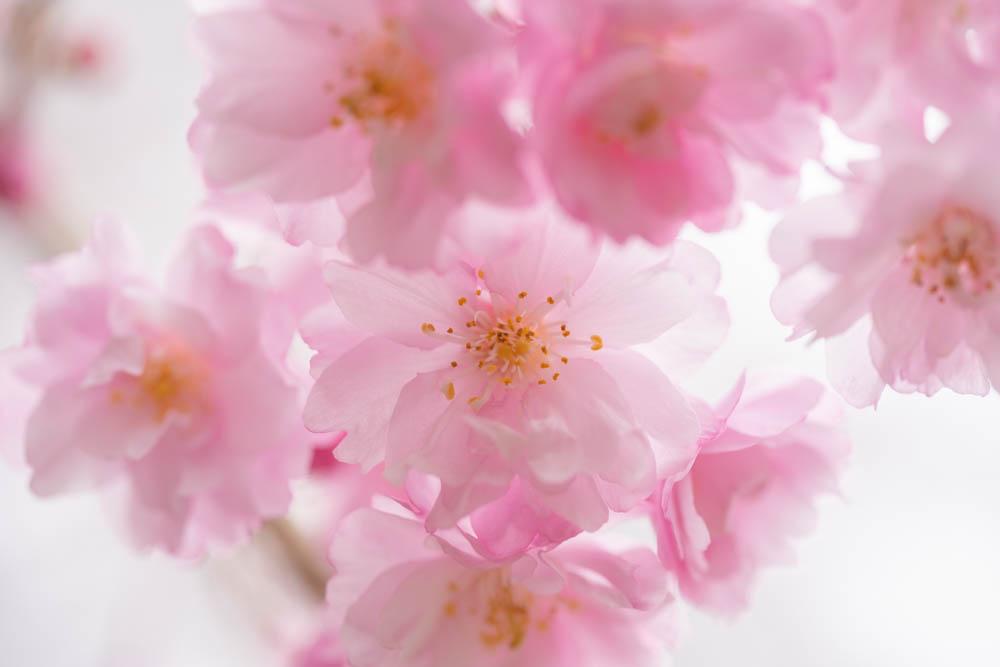 船岡城址公園の桜 近景