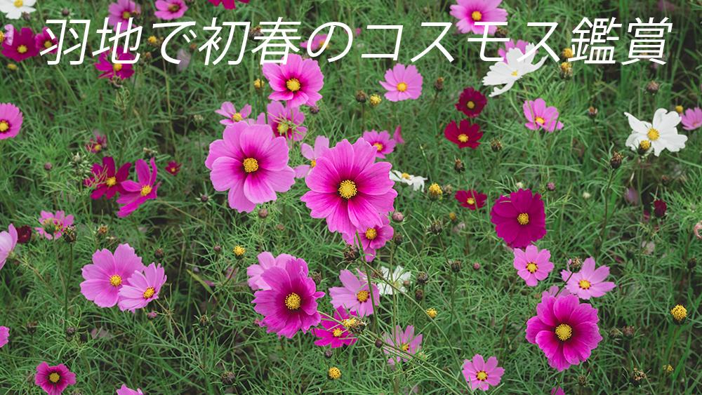 羽地で沖縄のコスモス鑑賞