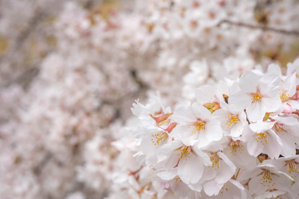 霞ヶ城公園の桜 特徴