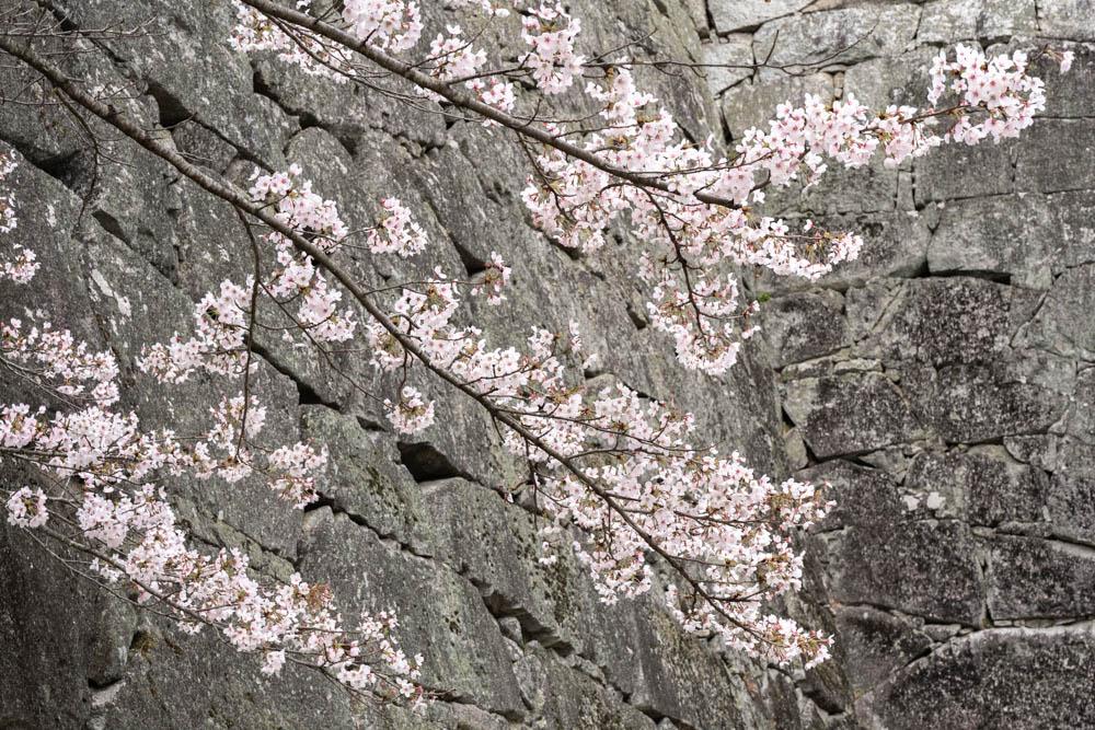 霞ヶ城公園の桜 撮影のポイント