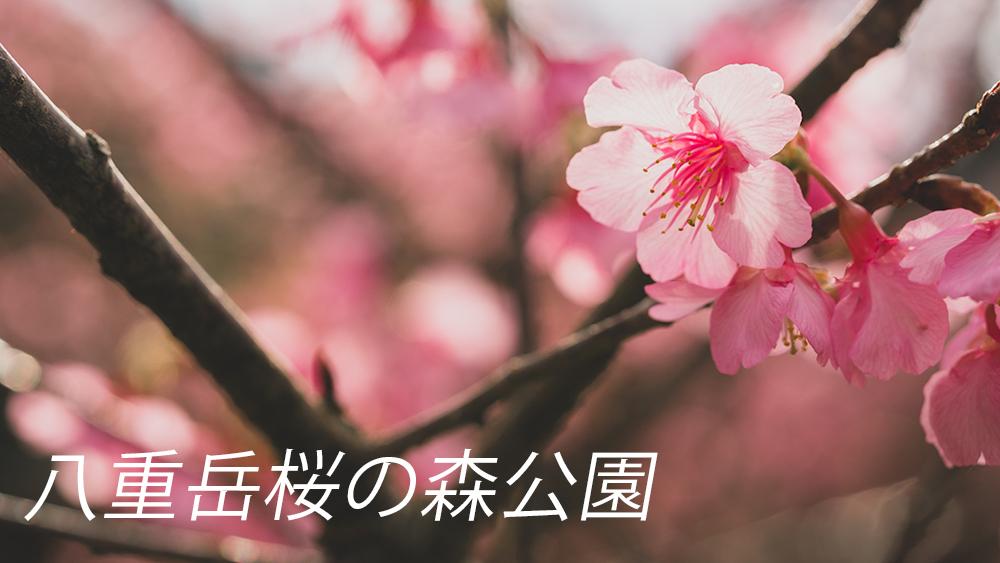 本部八重岳桜の森公園が見頃