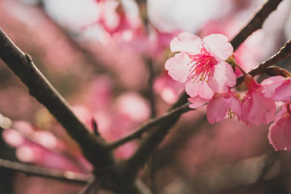八重岳桜の森公園の開花状況