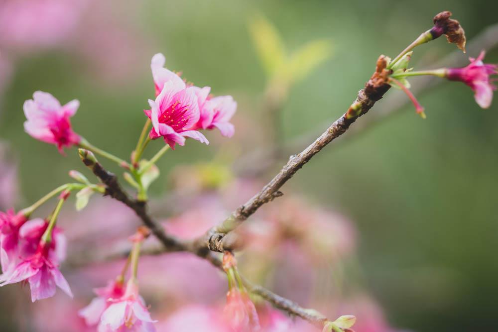 八重岳桜の森公園の特徴