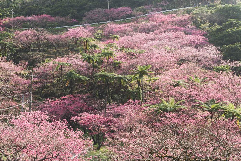 八重岳森林公園 見頃の桜