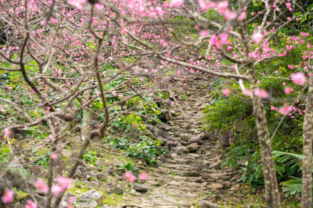 今帰仁城の桜の開花時期や特徴