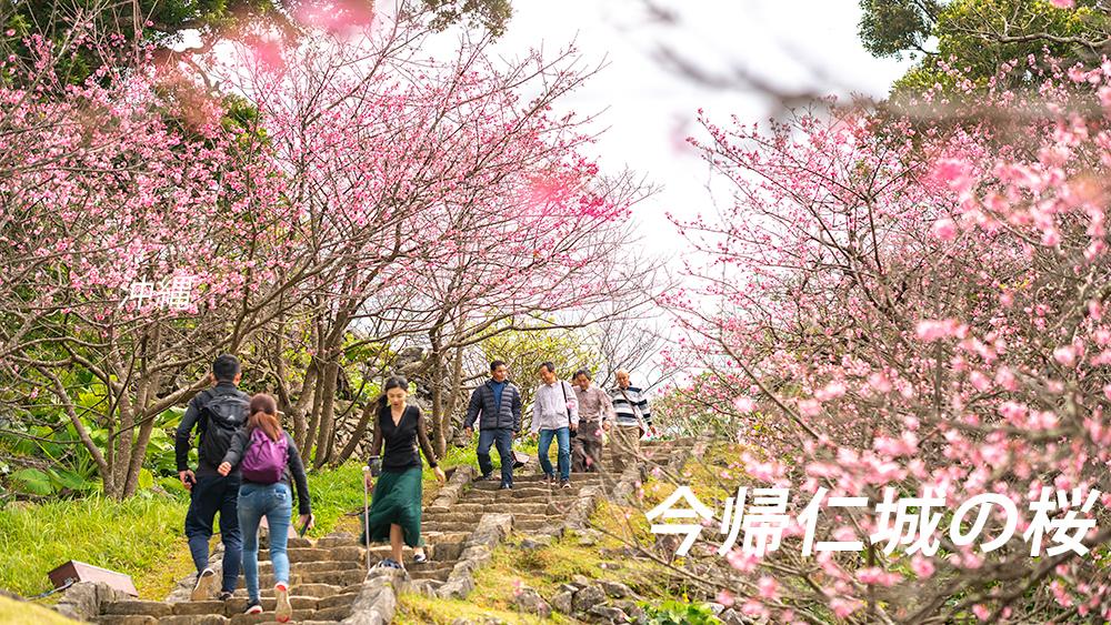 今帰仁城の桜 沖縄名所の開花時期