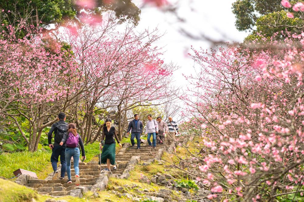 今帰仁城の桜を見に行ってきた